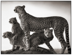 4 Cheetah & Cubs.jpg